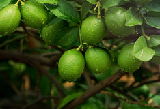 Citrons sur l'arbre Photos stock