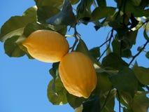 Citrons sur la branche Photo stock
