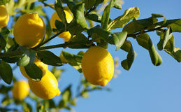Citrons sur le citronnier. Photographie stock