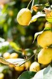 Citrons sur le fond d'arbre photos stock