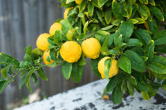 Citrons sur un arbre Photographie stock