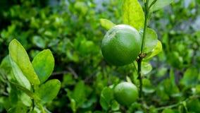Citrons verts sur les citronniers dans le jardin image libre de droits