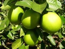 citronsolsken Royaltyfria Bilder
