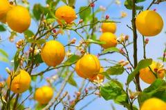 Citronträd Arkivbilder