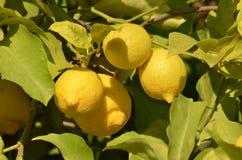 Citronträd royaltyfri fotografi