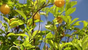 Citronträd stock video