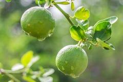 Citronträd, citron, dagg arkivfoton