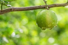 Citronträd, citron, dagg arkivbilder