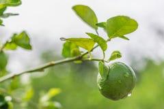 Citronträd, citron, dagg royaltyfria bilder