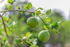 Citronträd, citron, dagg arkivfoto