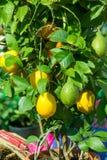 citronträd i en kruka med frukter, fotografering för bildbyråer