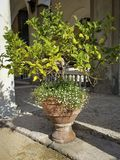 Citronträd i en terrakottakruka royaltyfri foto