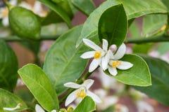 Citronträd med blommor i blom Arkivbild