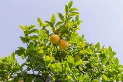 Citronträd med frukt Arkivbilder