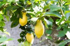 Citronträd med frukt Arkivbild