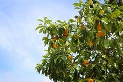 Citronträd med gula citroner Arkivbild