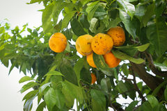 Citronträd med gula citroner Royaltyfria Bilder