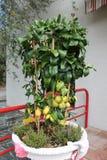 Citronträd med mogna frukter i en blomkruka royaltyfri fotografi
