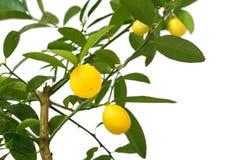 Citronträd som isoleras på vit bakgrund Arkivfoton