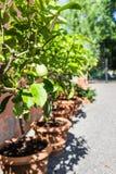 Citronträd som växer i en gård eller en trädgård under solig dag Arkivfoto