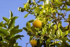 Citronträd utomhus nära havet albacoren royaltyfri fotografi