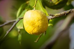 Citronträd utomhus nära havet albacoren arkivbild