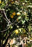 Citronträd - vintergrön perenn thermophilic växt Arkivbilder