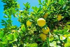 Citronträdfilial med frukter Royaltyfri Bild