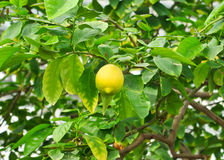 citrontree Arkivbilder