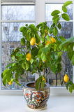citrontree Arkivbild
