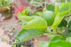 Citronväxtlimefrukt som växer i trädgården arkivbilder
