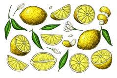 Citronvektorteckning Konstnärlig illustration för sommarfrukt Arkivbild