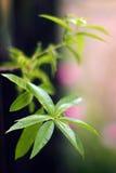 Citronverbena (den Lippia citrodoraen) Royaltyfri Foto