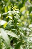 Citronverbena som används för doft och anstrykning i trädgård royaltyfri bild