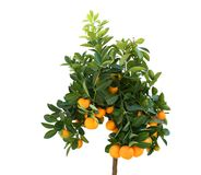 Citrus. Tangerine tree with plenty of fruits isolated on white Stock Images