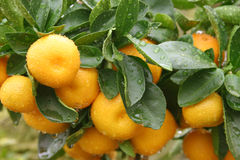 Citrus. Plant Royalty Free Stock Photos