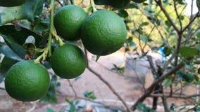 Citrus aurantifolia Swingle Rutaceae synonym. Adesum obesum roem APOCYNACEAAE stem Stock Photography