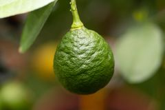 Citrus aurantiifolia, green lime fruit on a branch in close up royalty free stock photography