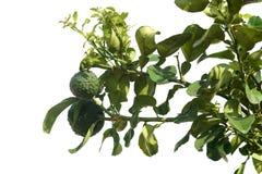 Citrus aurantium isolated on white background royalty free stock photos