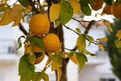 Citrus aurantium tree in garden. royalty free stock photography
