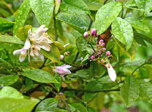 Citrus blomning Royaltyfria Foton