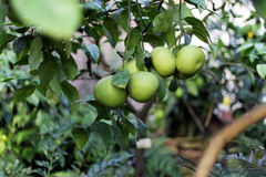 Citrus on branch close up Royalty Free Stock Images