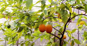 Citrus on branch close up Royalty Free Stock Photography
