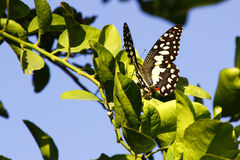 Citrus Butterfly Royalty Free Stock Photo