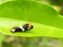 Citrus Butterfly larva 3 Stock Images