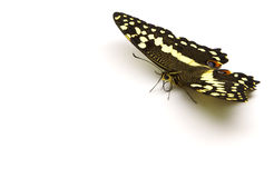 Citrus Butterfly (TRC). A yellow and black butterfly strategically placed in the top right corner so as to allow for considerable copyspace Stock Images