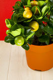 Calamondin Royalty Free Stock Photos