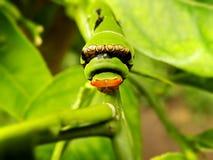Citrus Caterpillar 1 Royalty Free Stock Images