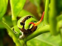 Citrus Caterpillar 2 Stock Photos