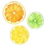 Citrus dragen illustration för skivafruktvattenfärg hand Apelsin citron, limefrukt som isoleras på vit bakgrund För designen Vektor Illustrationer